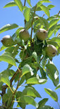 Precis besprutade päron på ett träd Arkivfoto