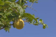 Precis en annan citron unaltered Royaltyfri Foto