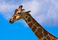 Precis en enfaldig giraff Arkivfoto