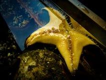 Precis en enkel sjöstjärna i akvarium royaltyfri foto