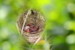 Precis födda fågelungar Arkivbilder