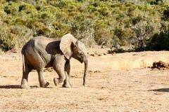 Precis röra till omkring - den afrikanska Bush elefanten Royaltyfri Bild