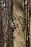 Precis skäll på ett träd Arkivfoto