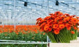 Precis skördade apelsin färgade Gerberablommor i en holländsk blomma Arkivfoto