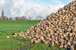 Precis skördade sockerbetor på en stor hög Arkivbilder