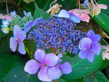 Precis starta att blomstra blåa och violetta hortensiablommor med gröna sidor royaltyfria foton