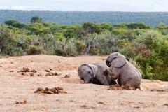 Precis ta en ta sig en tupplur - afrikanBush elefant Arkivbilder
