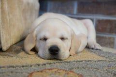 Precis ta sig en tupplur gul labradorvalp Arkivfoton