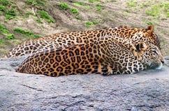 Preda aspettante del ghepardo immagine stock