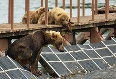 Preda aspettante del giovane orso bruno sul recinto per rappresentare pesce Lago Kurile Fotografia Stock