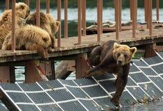 Preda aspettante del giovane orso bruno sul recinto per rappresentare pesce Lago Kurile Fotografie Stock Libere da Diritti