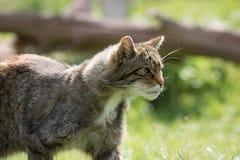 Preda d'avvicinamento del gatto selvaggio britannico durante la caccia Fotografia Stock