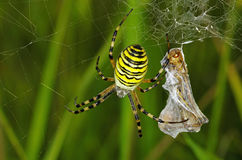 Preda del ragno fotografie stock libere da diritti
