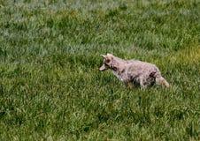 Preda di appostamenti del coyote Immagine Stock Libera da Diritti