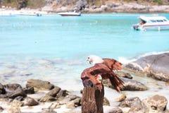 Preda di attesa dell'uccello di Eagle Immagini Stock