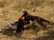 Preda di combattimento del falco del Harris Fotografia Stock