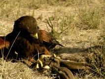 Preda di combattimento del falco del Harris Fotografie Stock