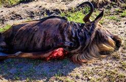 Preda di un leone in masai Mara Fotografia Stock Libera da Diritti