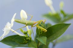 Predador do Mantis Fotografia de Stock Royalty Free
