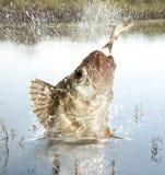Predador do rio Imagem de Stock
