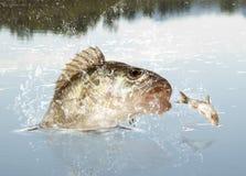 Predador do rio Fotos de Stock Royalty Free