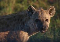 Predador Nocturnal perigoso imagens de stock royalty free
