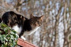 Predador puro - gato doméstico imagem de stock