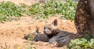 Predadores dos animais Sono das hienas na máscara Imagens de Stock