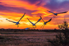Predation Crane Royalty Free Stock Images