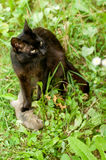 Predator. Cat has caughted mouse on the grass Stock Photos