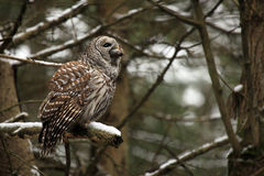 The Predator. Barred Owl swallowing a vole Stock Images