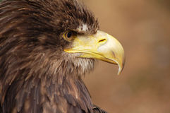 Predator. A large bird of prey with blurred background Stock Image