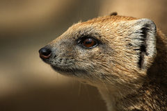 Predator. Called meerkat in profile Royalty Free Stock Image