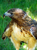 Predator. Red tailed hawk downing a meal after a kill stock photography