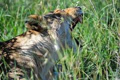 Predator Stock Image