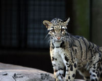 Predator. Clouded Leopard in captivity staring at camera Royalty Free Stock Photos