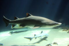 Predator. Large shark with little fish in the background Royalty Free Stock Photo