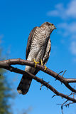 Predator against the sky. Portrait of Pernis apivorus - bird from falcon group Stock Photo