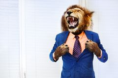 Predator angry boss concept man with lion head. Furious angry man with head of lion roar wearing formal suit in the office stock photos