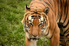 Predator. Animal animals wildlife Stock Photos