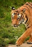 Predator. Animal animals wildlife Stock Images