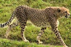 Predator. Animals natural wildlife Royalty Free Stock Image