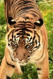 Predator. Animals natural wildlife Royalty Free Stock Photos