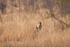 Cheetah approaching Stock Image