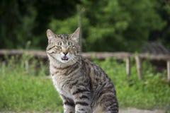 Predator bared his teeth. Gray cat. Royalty Free Stock Photo