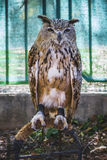 Predator, beautiful owl with intense eyes and beautiful plumage Stock Photography