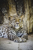 Predator, beautiful and powerful leopard resting in the sun Royalty Free Stock Photography