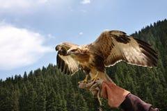 Predator  bird,  falcon.Waves wings. Predator  bird,  falcon.  background wood and  sky Stock Images