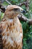 Predator. Bird kurgannik, hawk, close up Stock Photo