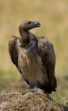 Predator bird is sitting on the ground. Kenya. Tanzania. Royalty Free Stock Photos